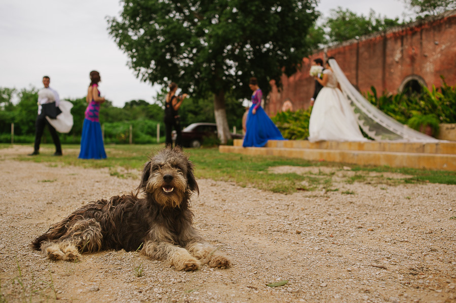 Stray dog in foreground while bride groom and bridesmaids walk away
